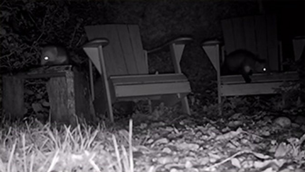 Afbeelding van Nachtelijk bezoek van steenmarters