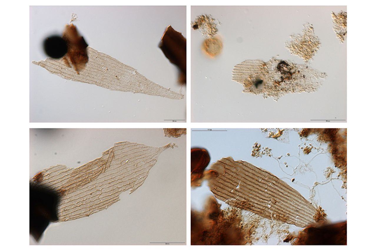 Afbeelding van Fossielen van vroege vlinders gevonden