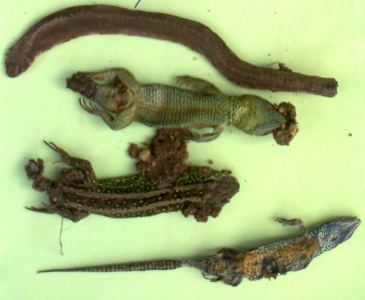Afbeelding van Reptielen sneuvelen onder de banden van mountainbikers