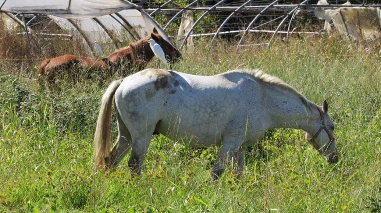 koereiger-paard---hansspits