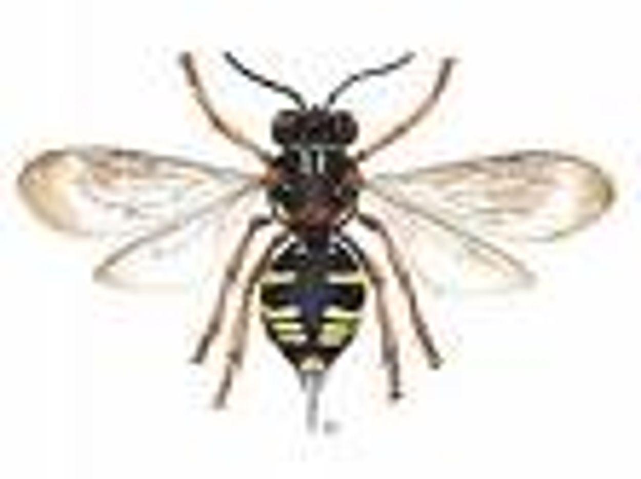 Afbeelding van Koekoeksbij in Saeftinghe