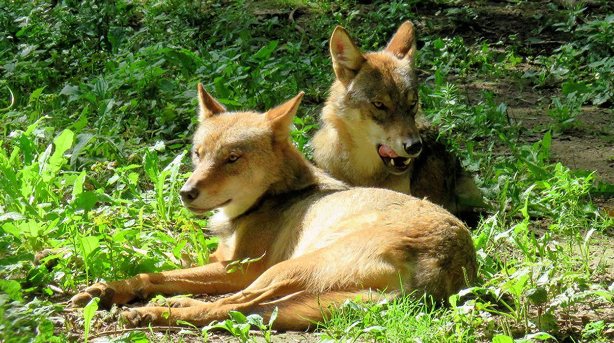 Afbeelding van Vier wolven gezien in drie maanden tijd