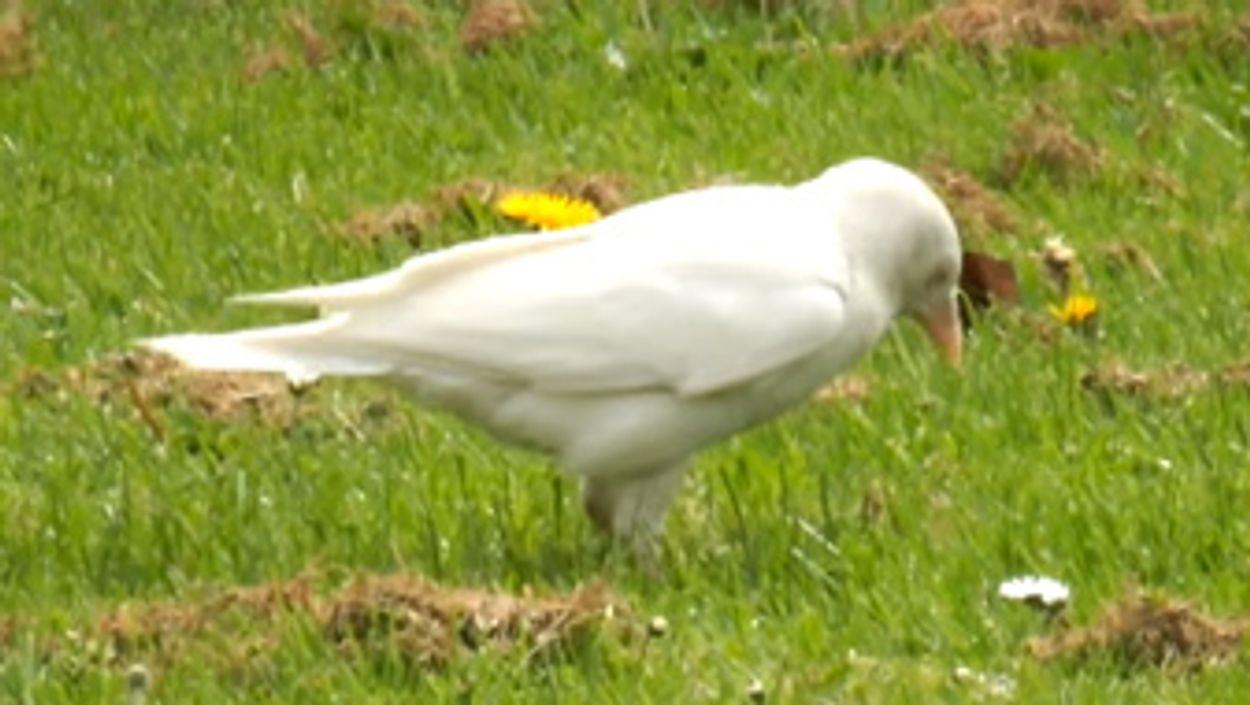 Afbeelding van Witte kauw