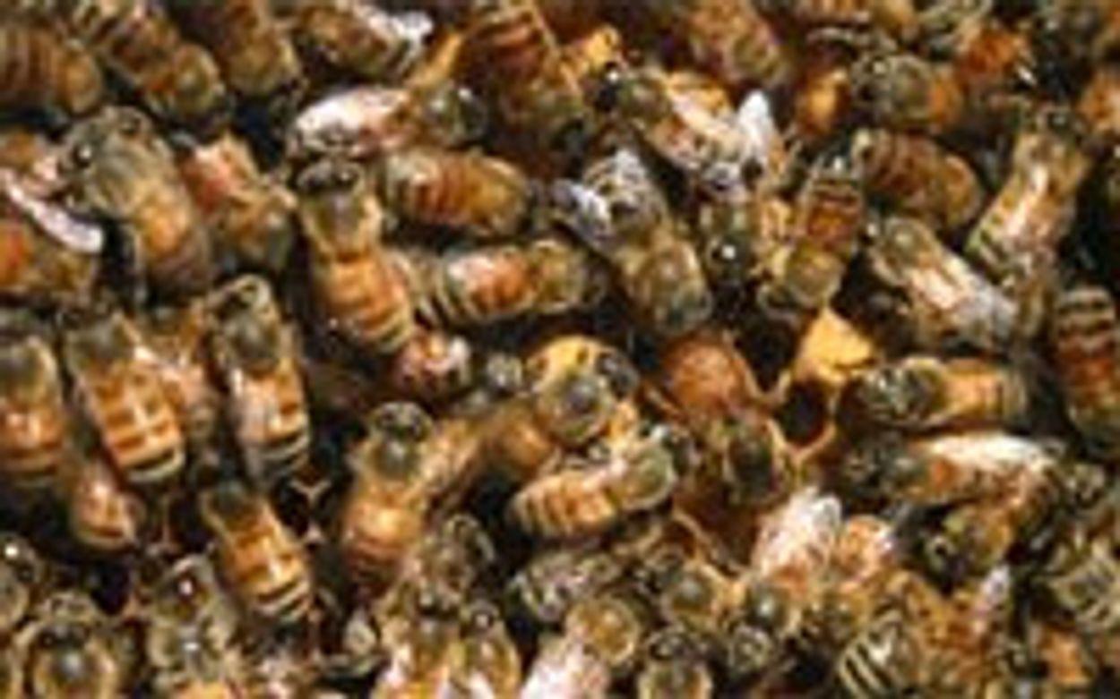 Afbeelding van 'Insecticiden veroorzaken grote bijensterfte'