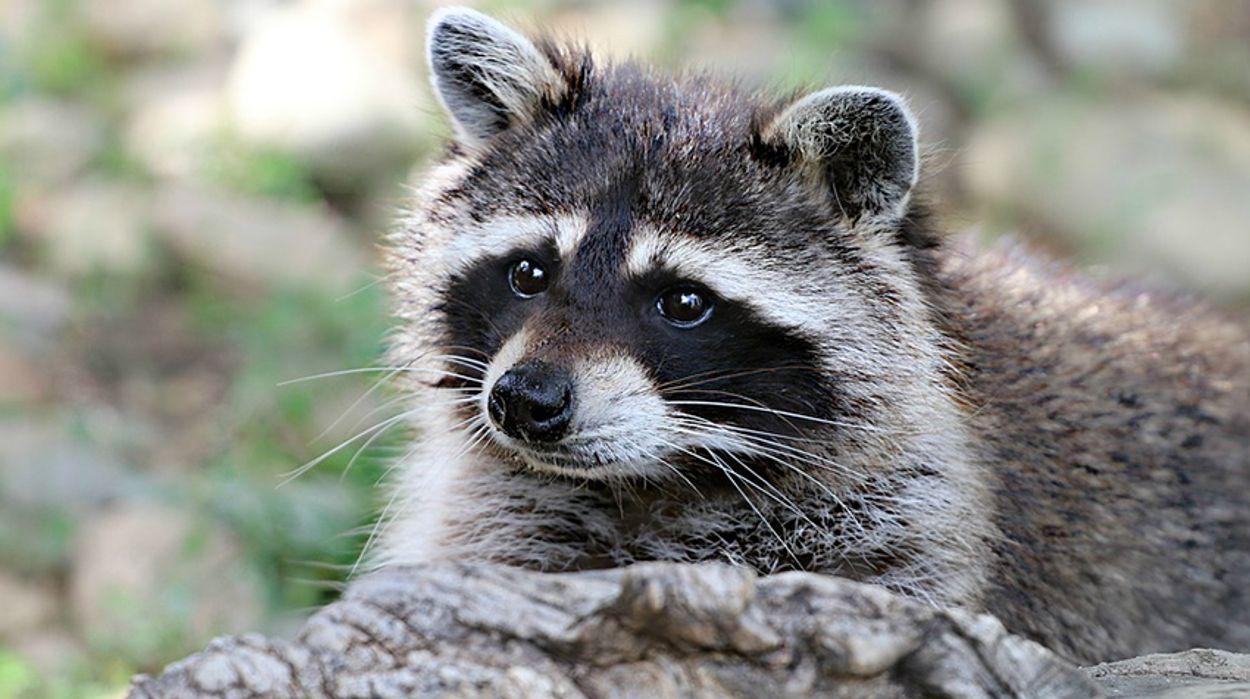 Afbeelding van Limburgse wasberen toch niet afgeschoten