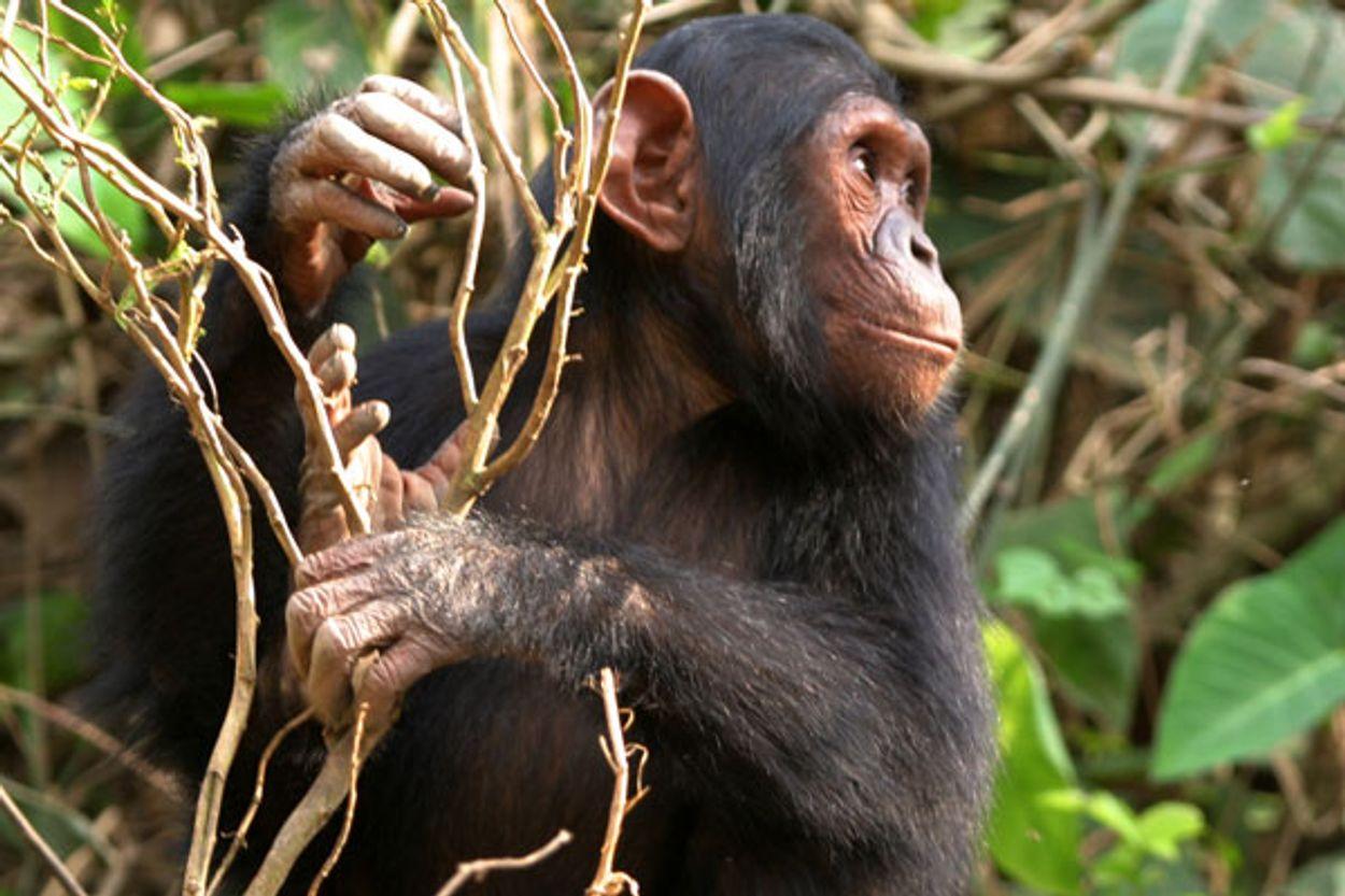 Afbeelding van Helft van alle apensoorten bedreigd met uitsterven