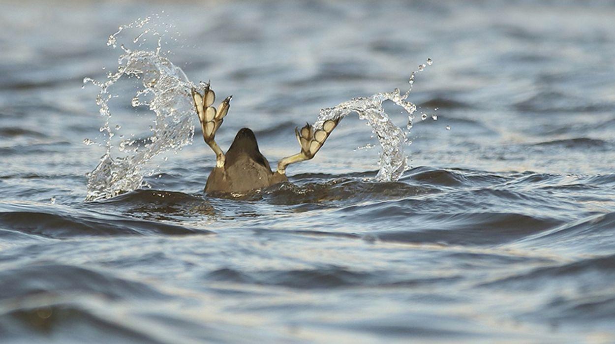 Afbeelding van Fotoserie: Vogels met grote voeten