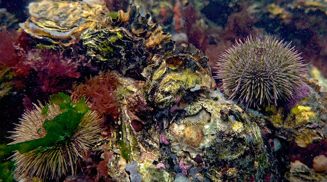 zeeegel-op-Japanse-oester_MarionHaarsma