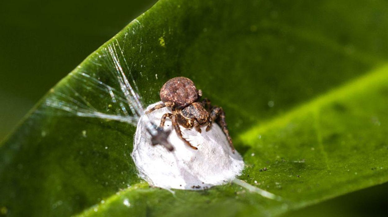 Krabspin verbergt cocon. Fotograaf: John de Grooth