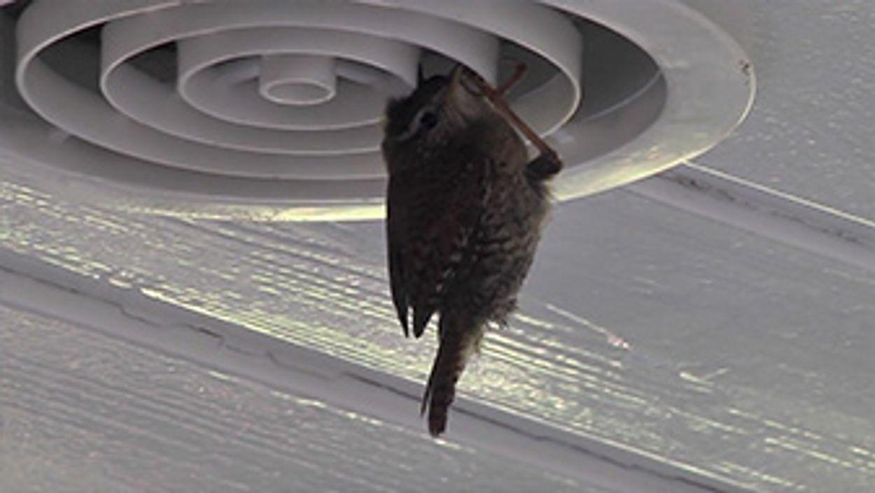Afbeelding van Paartje winterkoning bouwt nest
