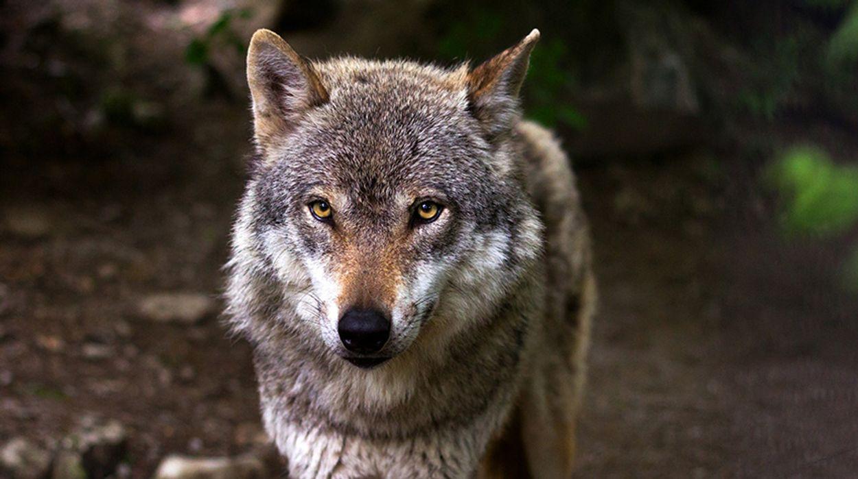 Afbeelding van De wonderlijke reis van de wolf