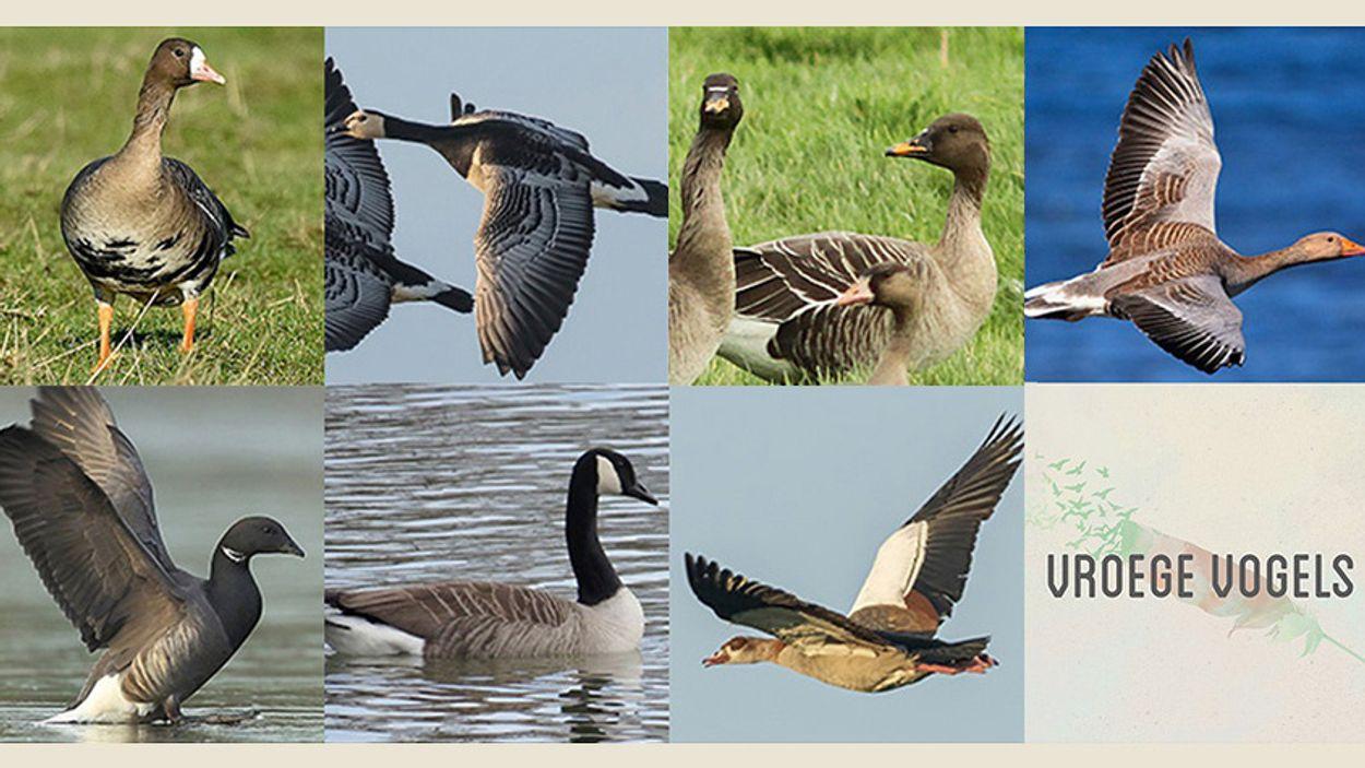 Afbeelding van Quiz: ganzengeluiden herkennen