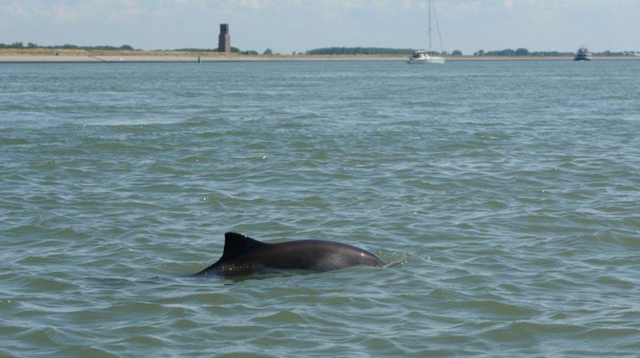Afbeelding van Bruinvissen kunnen ontsnappen aan aanval grijze zeehond