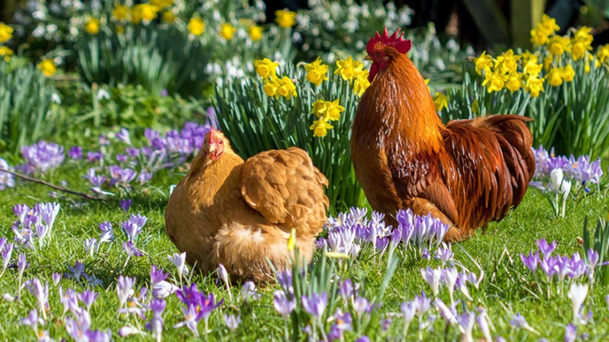 Afbeelding van Amsterdam opent opvang voor gedumpte kip