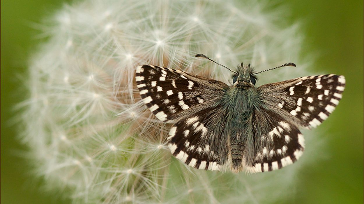 Afbeelding van Wilde zwijnen goed voor bedreigde aardbeivlinder