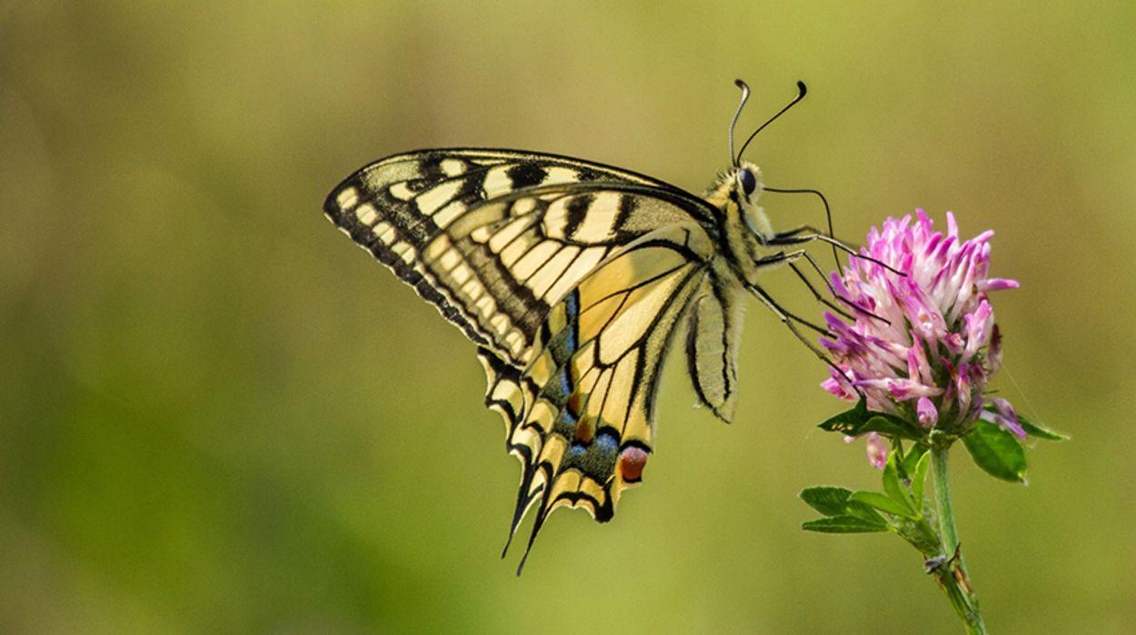 Afbeelding van Ruim 80% minder vlinders in Nederland dan rond 1900