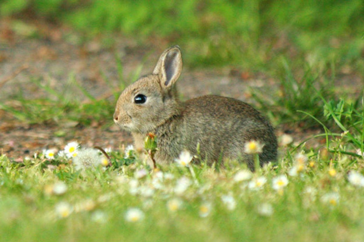 Afbeelding van Dodelijke konijnenziekte