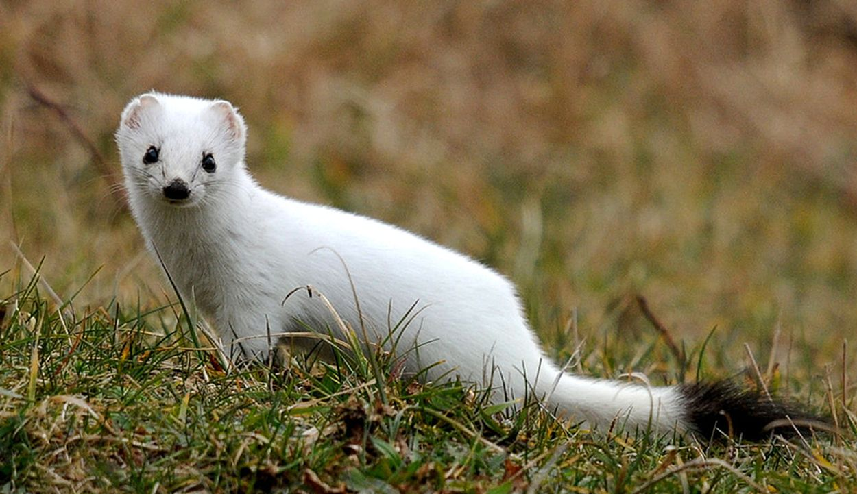 Zwartwitte hermelijn - bonteklepper - gesneden