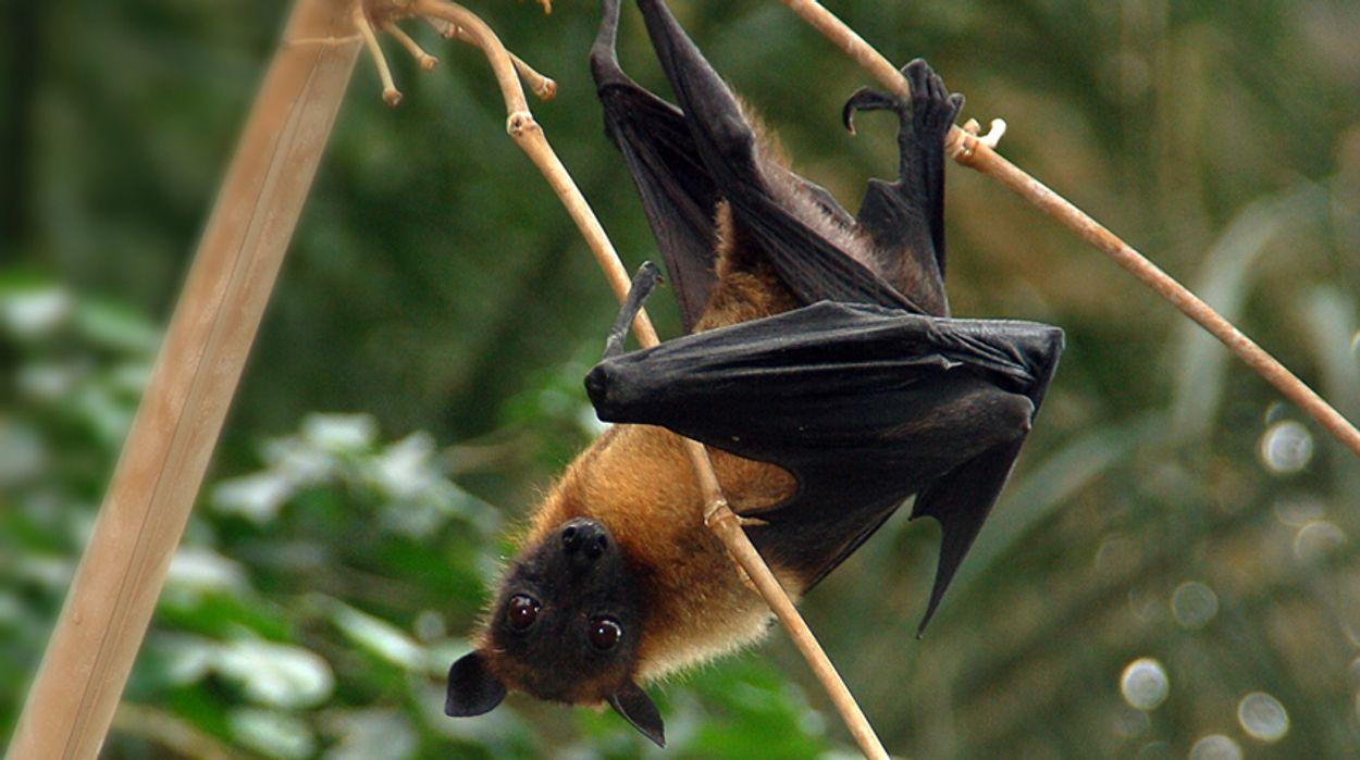 Afbeelding van Australische vleermuizen koken dood in hitte