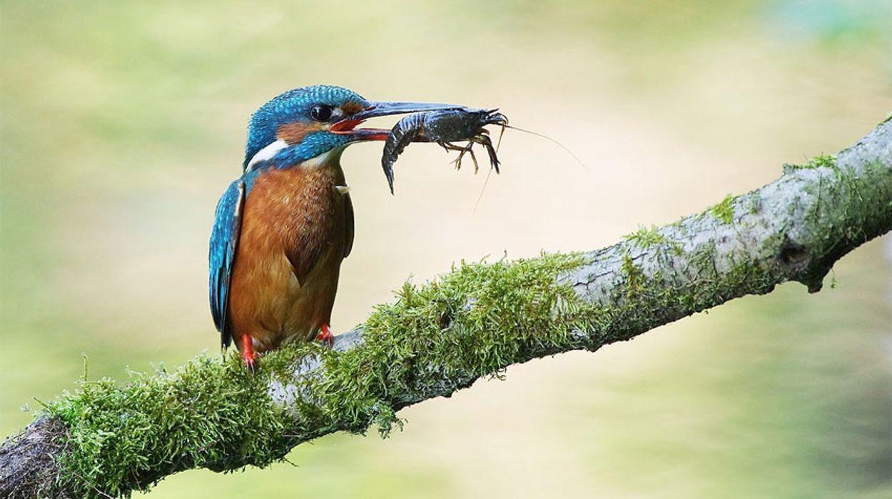 IJsvogel met rivierkreeft
