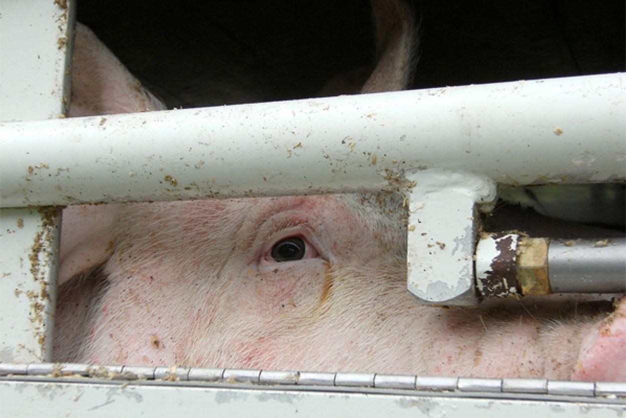 Afbeelding van 'NVWA faalt met export ernstig zieke varkens'