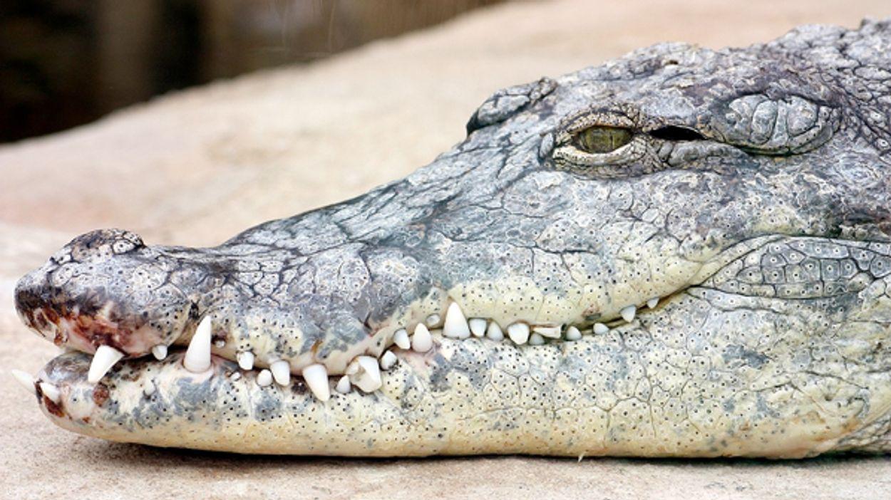 Afbeelding van Enorme krokodil doodgeschoten in Australië