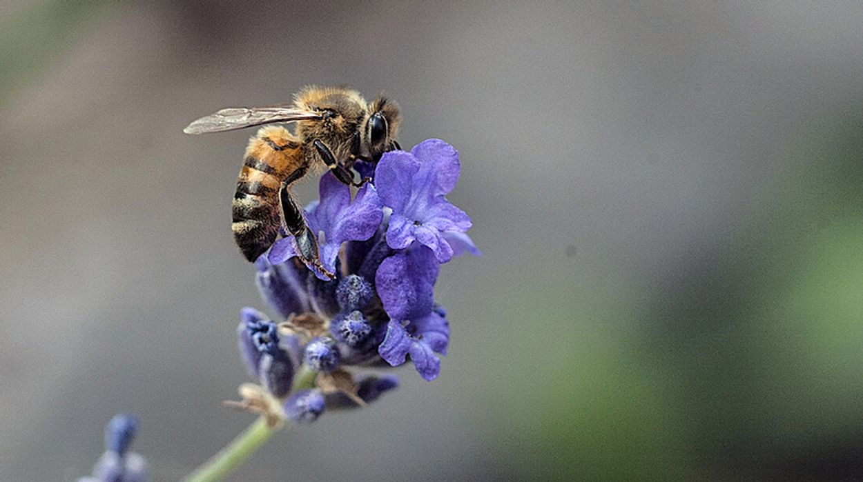 Afbeelding van 'Verbeter de natuurlijke weerstand van de honingbij'