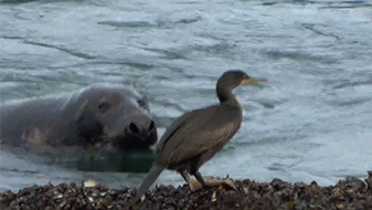 Afbeelding van Kuifaalscholver ontmoet zeehond