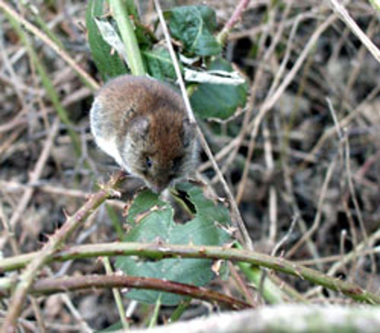 Afbeelding van Muizen met een staartje
