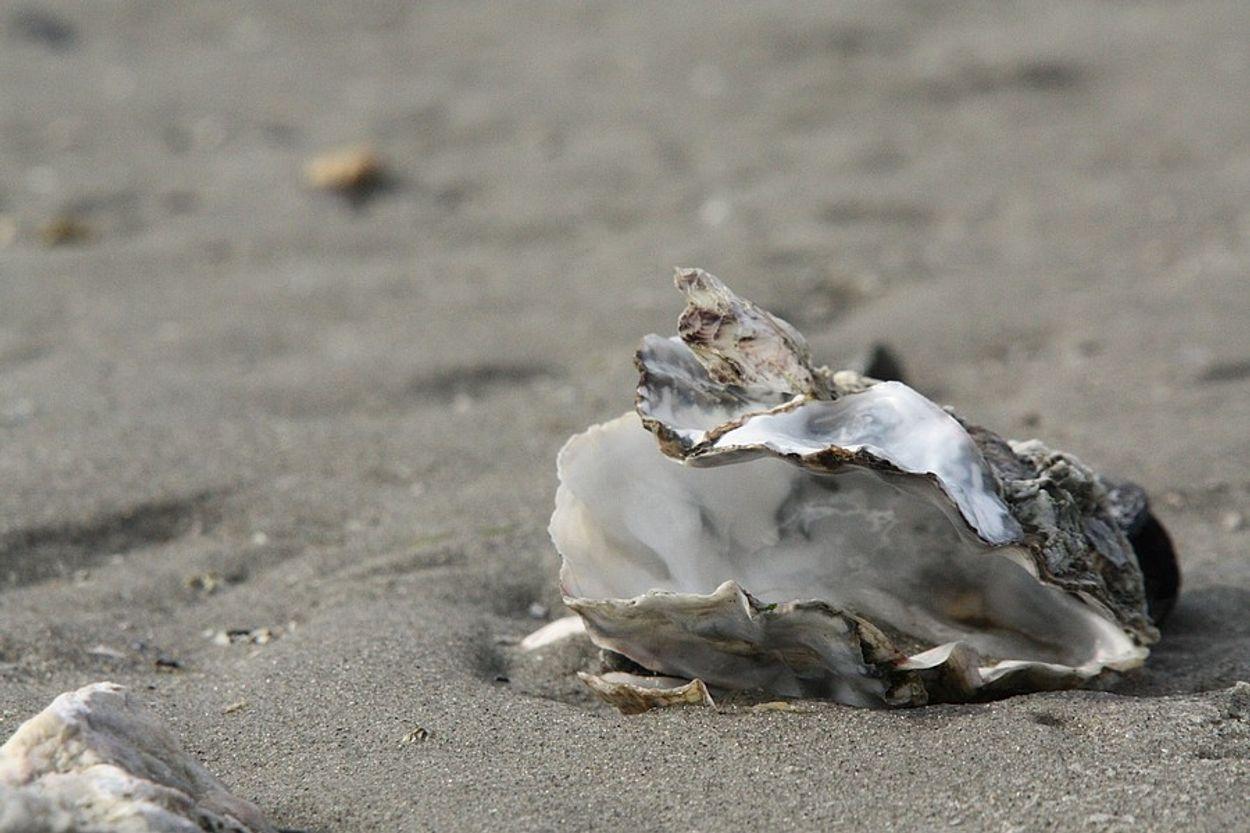 Afbeelding van Terugbrengen platte oester in Waddenzee is kansrijk