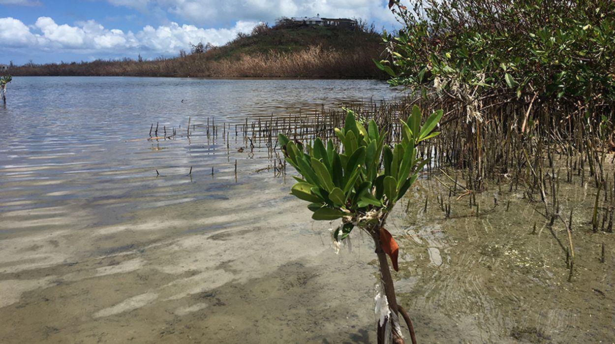 Sint Maarten mangrove