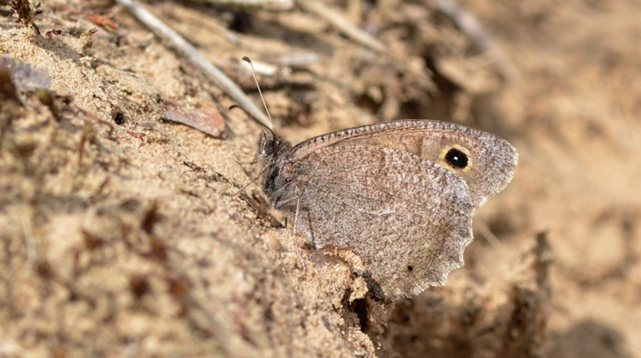 Afbeelding van Vlinderkroegen tijdens droogte
