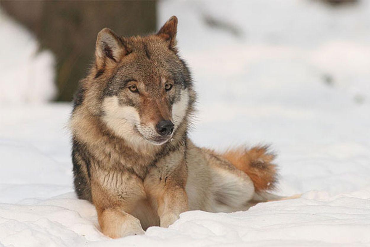 Afbeelding van Mongolië waarschuwt Noorwegen voor gevolgen wolvenslachting