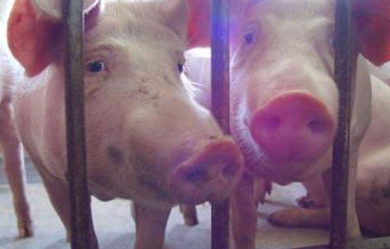 Afbeelding van Misstanden bij de varkens