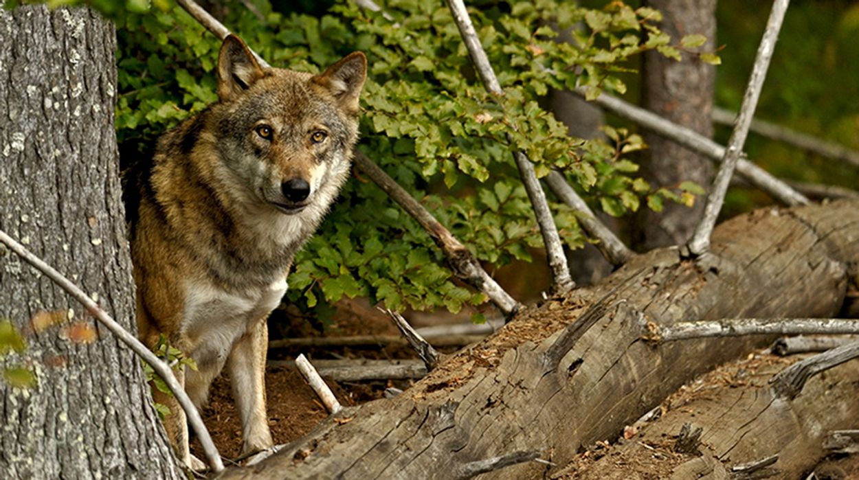 Afbeelding van Wat doet de geur van de wolf?