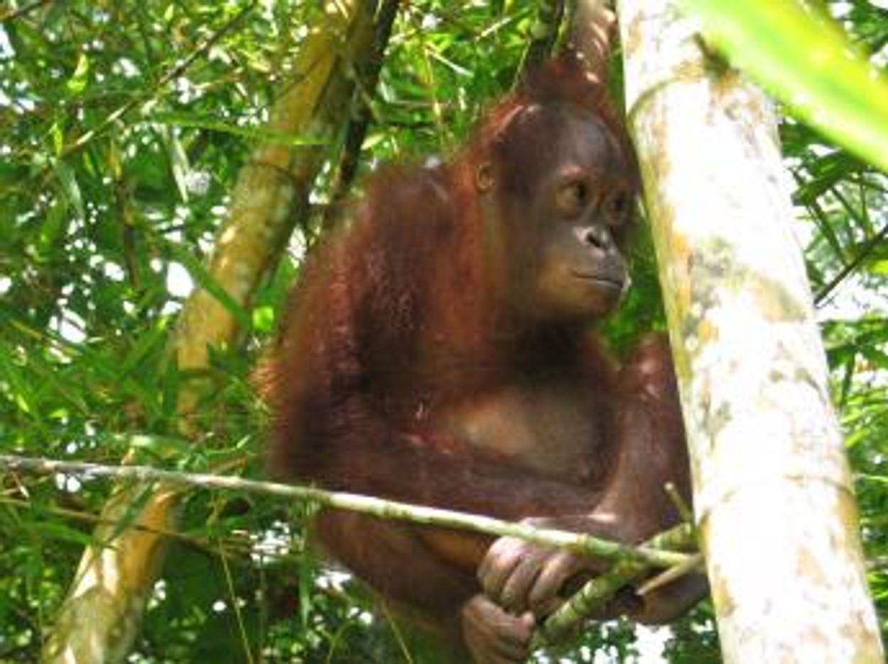Afbeelding van WNF op de bres voor Sumatraans orang-oetans