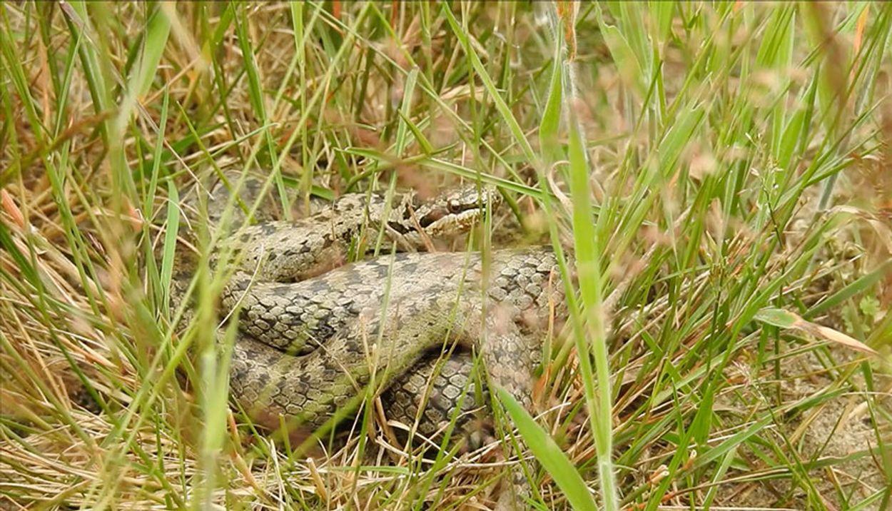Afbeelding van Gladde slang rukt op