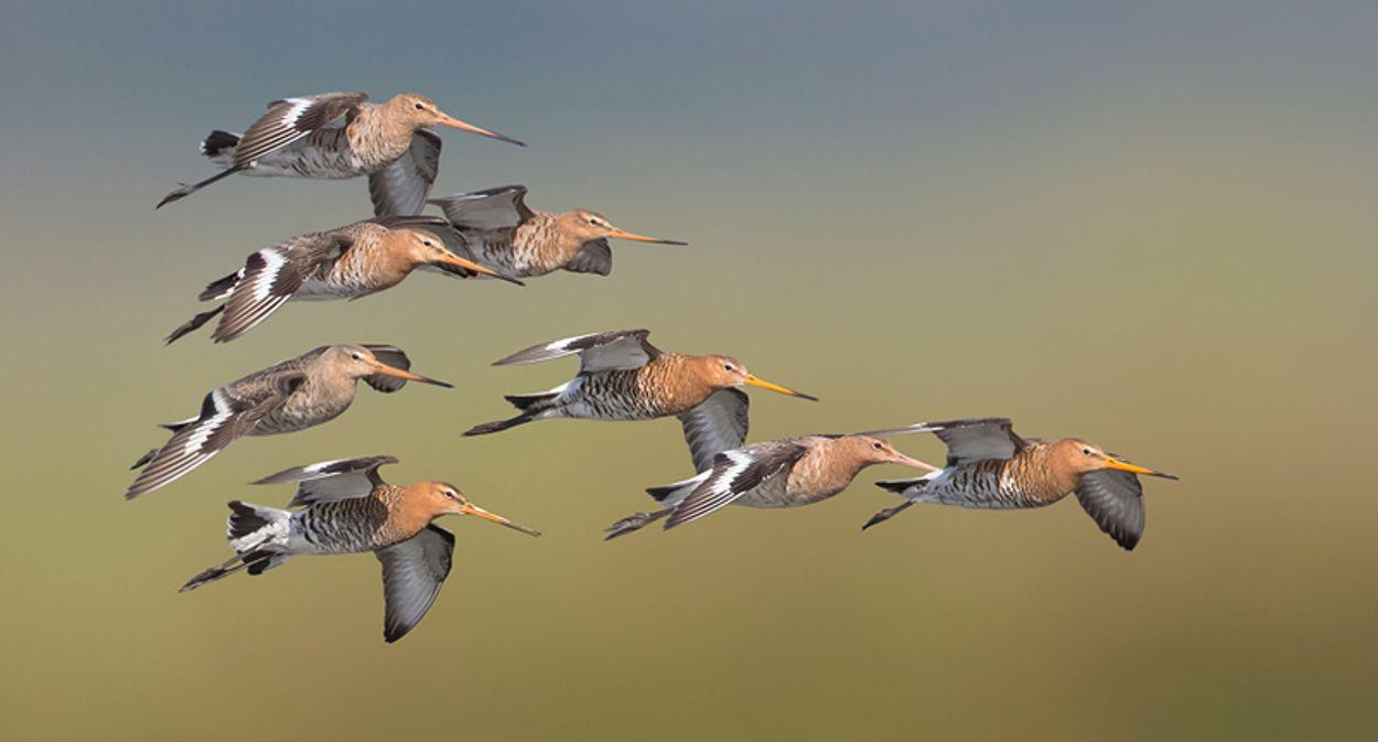 Afbeelding van Natuurmonumenten slaat alarm over weidevogel
