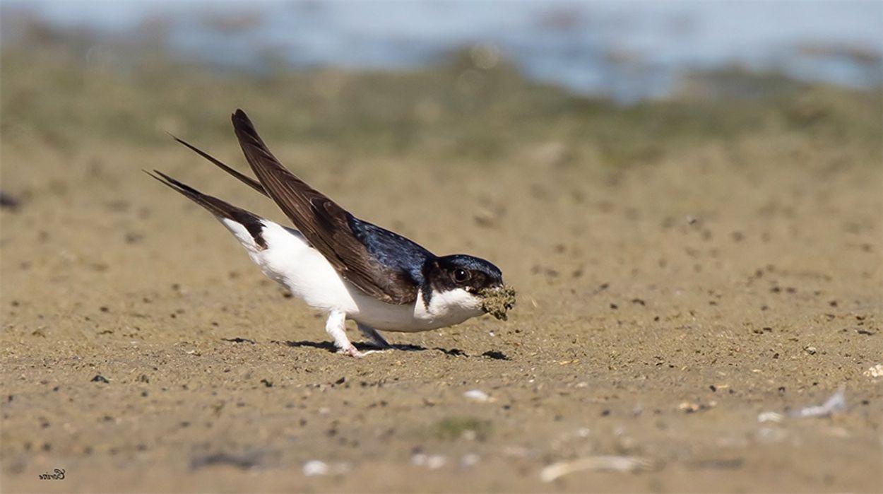 Afbeelding van Cursus vogelzang: huiszwaluw