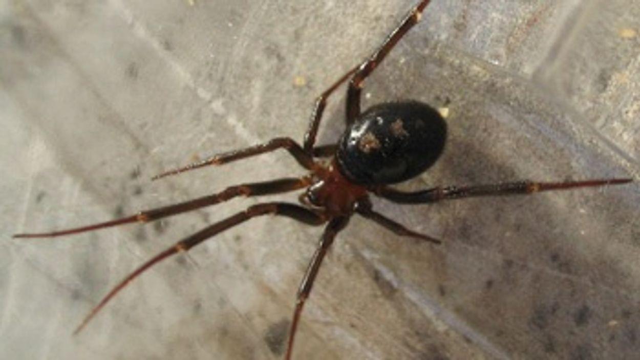 Afbeelding van Australiër verbijsterd na tweede spinnenbeet