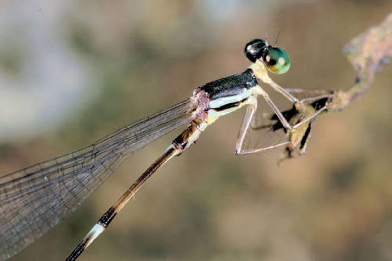 Afbeelding van Toptijd libellen