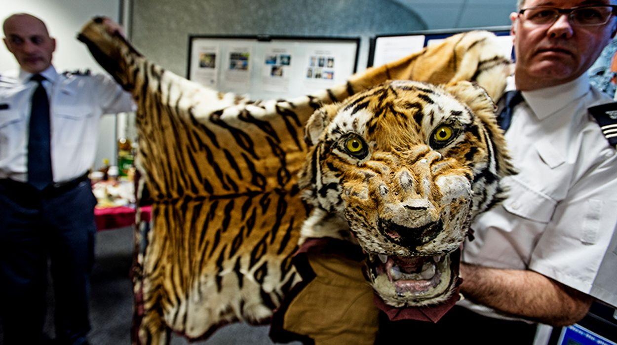 Inbeslagname-gesmokkeld-tijgervel-Heathrow-Airport-_WWF-UK-James-Morgan