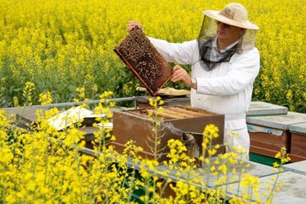 Afbeelding van Minder imkers in EU houden meer bijen