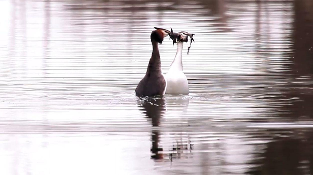 Afbeelding van Winnaar Zelf Geschoten: Balts van de fuut