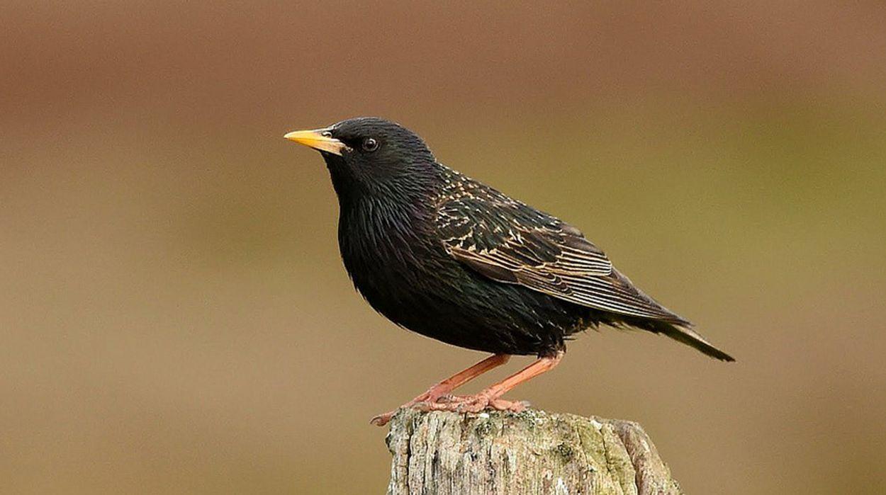 Afbeelding van Cursus Vogelzang: spreeuw
