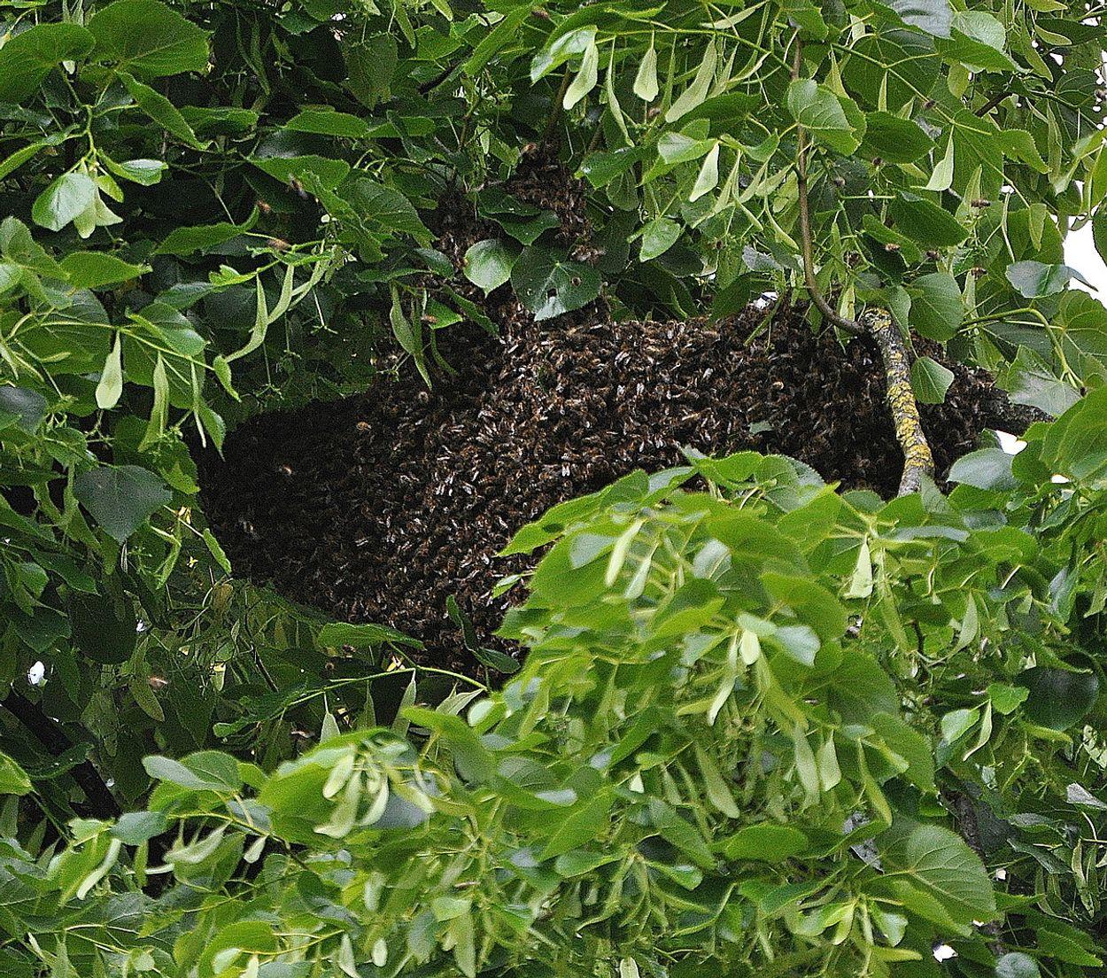 Afbeelding van Bijen gaan zwermen