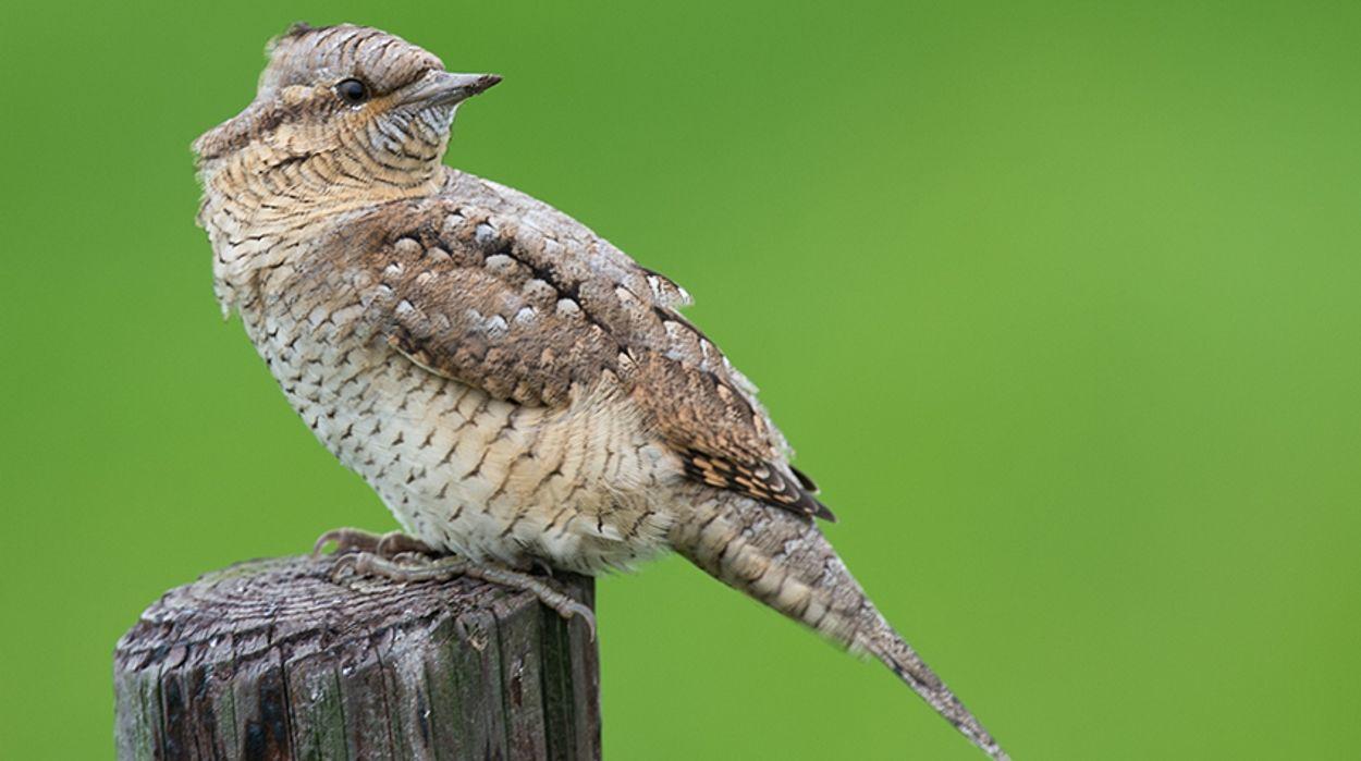 Afbeelding van Nieuwe Vogelatlas van Nederland