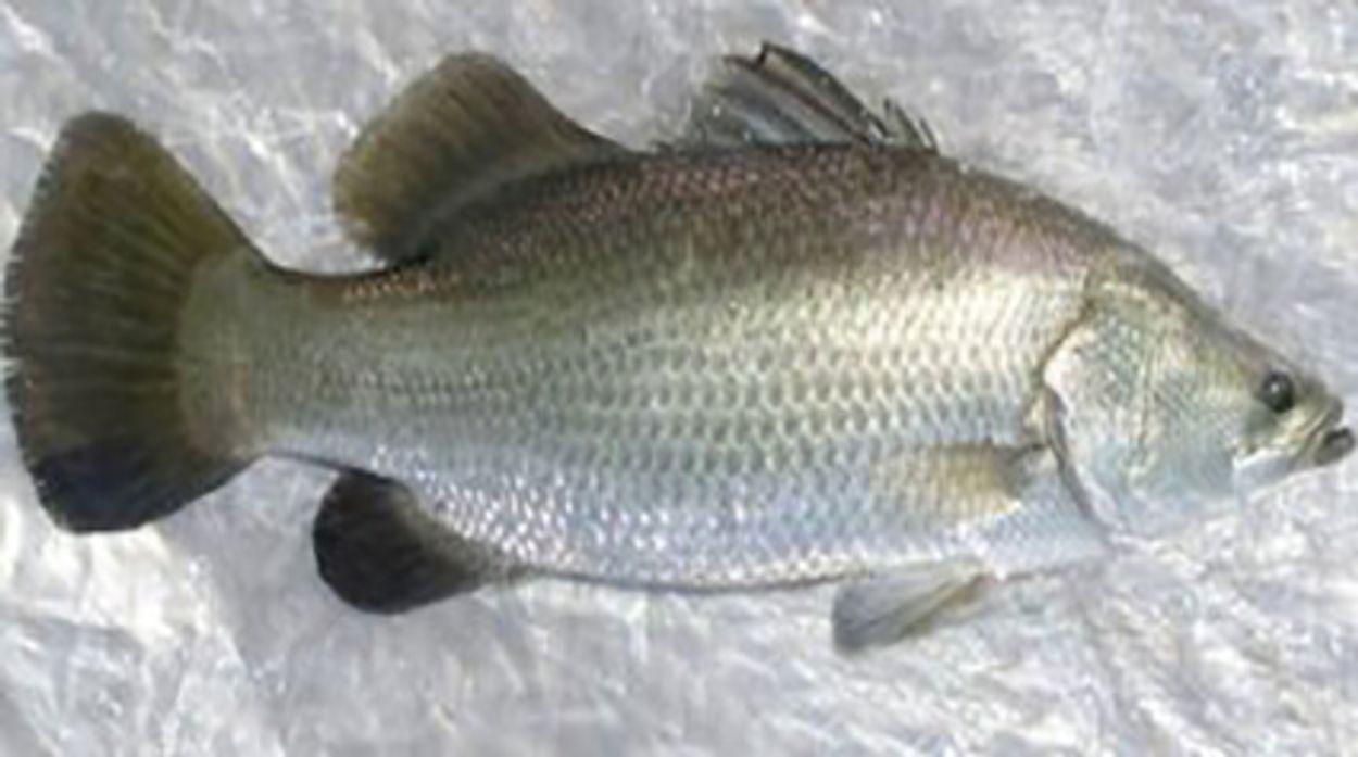 Afbeelding van Sleepnetvissers bedreigen zeebaars en tarbot