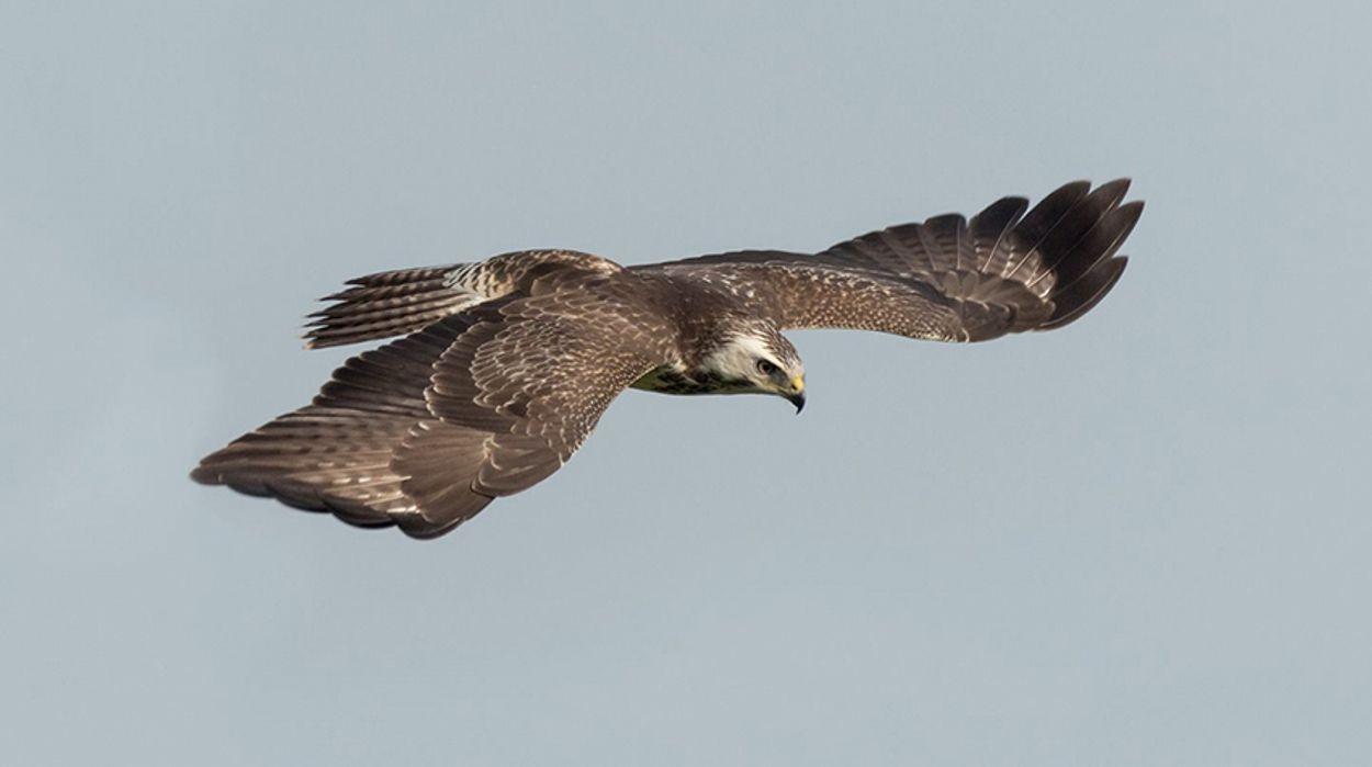 Afbeelding van 1.200 roofvogels illegaal gedood of gevangen