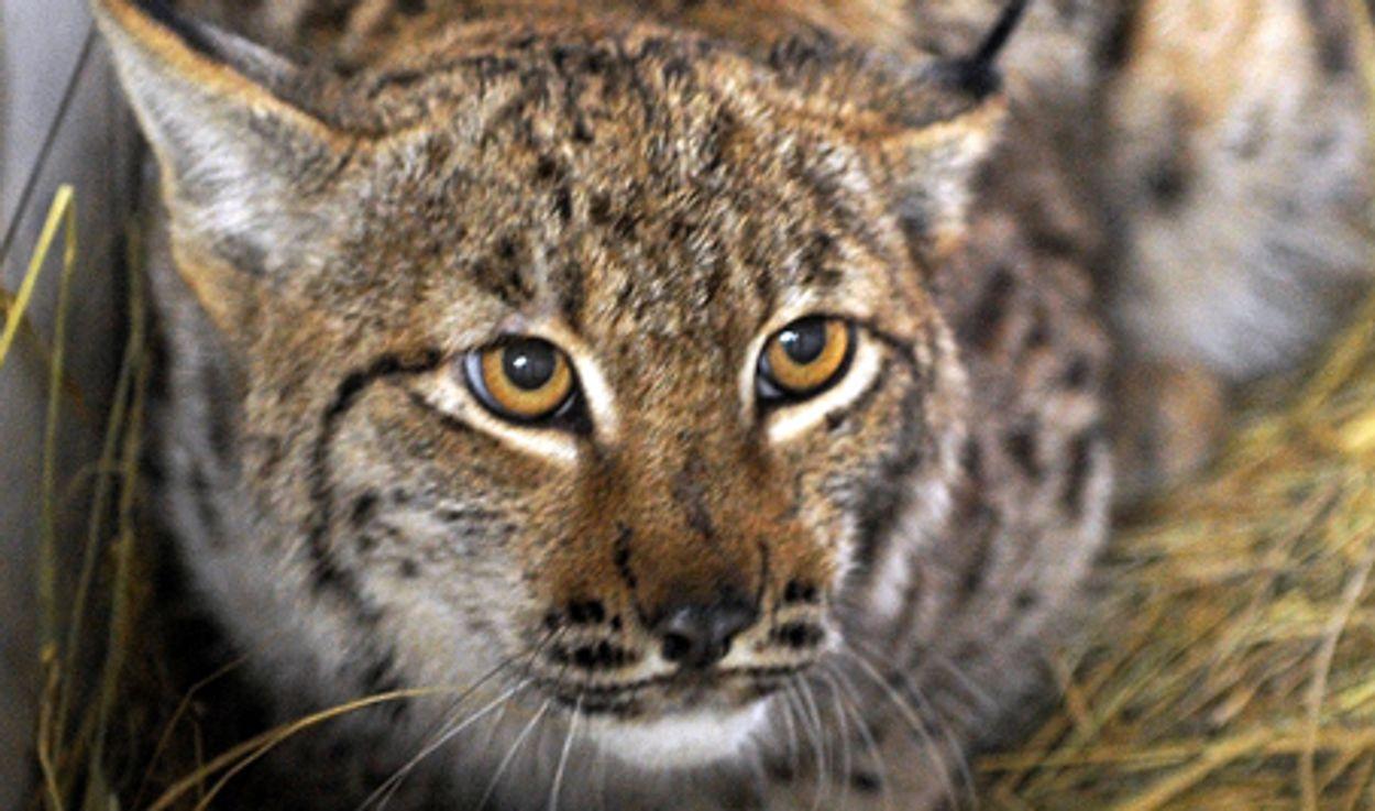 Afbeelding van Geen lynx, wel wilde kat in Nederland